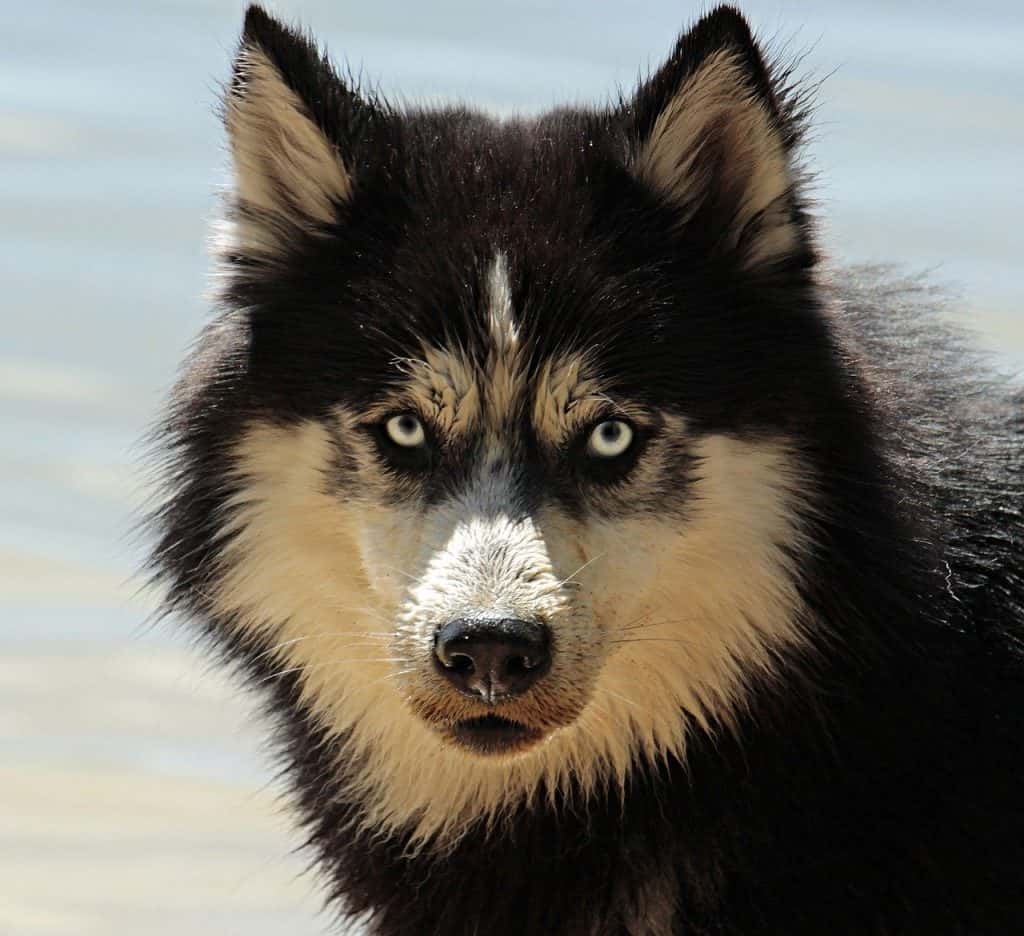 כלב האסקי סיבירי